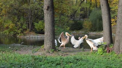 pelicans flap their wings near pond in Zoo