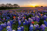 Texas wildflower - bluebonnet filed in sunset