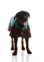 Beautiful Rottweiler Wearing a Jacket