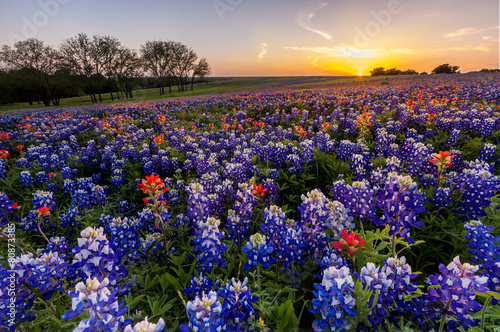 Staande foto Weide, Moeras Texas wildflower - bluebonnet filed in sunset