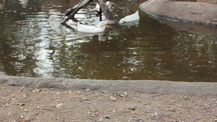 crane goes by shore of pond with ducks