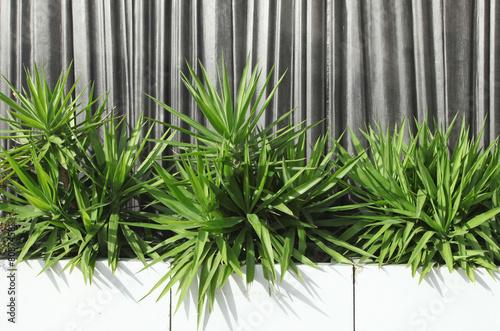 Papiers peints Vegetal yuccas en jardinières