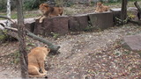 African lions family resting in autumn zoo aviary poster