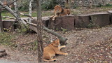 African lions resting in autumn zoo aviary, lioness is pregnant poster