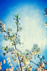 branches of blossoming cherry tree floral background instagram s