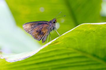 Borboleta da família Hesperiidae