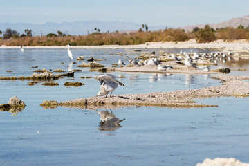 Birds in the Salton Sea