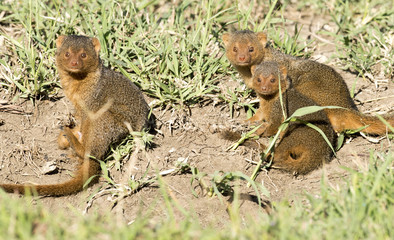 dwarf mongoose playing.