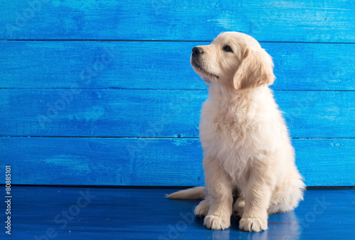 English Golden Retriever Puppy on Blue Wood Plakat