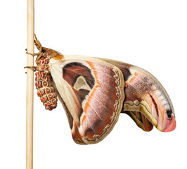 Isolated male attacus atlas moth