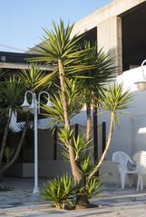 Пальма, растущая во дворе