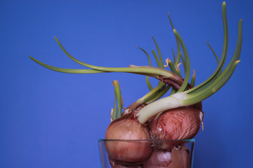 Sprouting Onions in a Glass Bowl