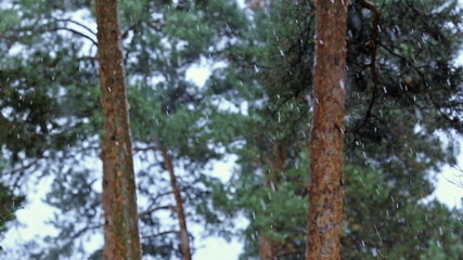 tree in pine forest snow snowfall cold nature