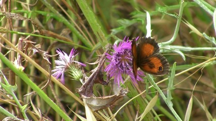 Gatekeeper butterfly on a Thistle