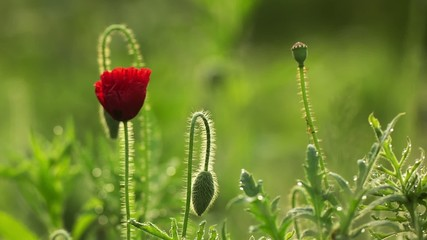 Poppy flower, one day time lapse
