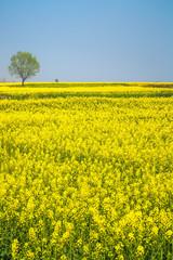 spring landscape of rape in full bloom