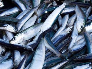 Many anchovies fish