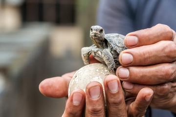 Baby Galapagos Tortoise © jkraft5