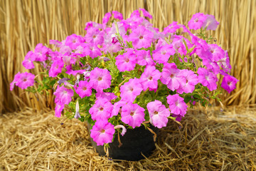 Pink petunia flower plants in the garden.