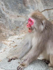 monkey with a red face shouting