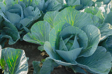 Field of cabbage