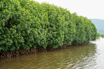 Mangrove forest with sky field.