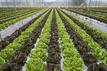 Lettuce crops in greenhouse