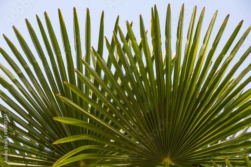 Papiers peints Palmier Hojas de Falso Palmito, en abanico