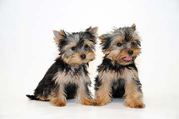 Two puppies Yorkshire terrier