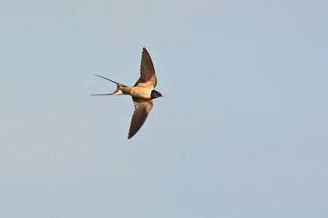 rondine (Hirundo rustica) in volo