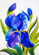 watercolour painting -  bouquet of irises on a white background