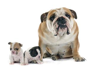 puppy french bulldog and english