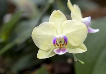 Орхидея желтый фаленопсис