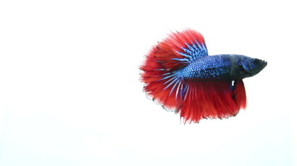 Fighting fish on isolated background