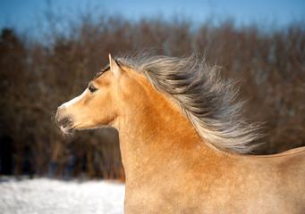 roan welsh mountain pony