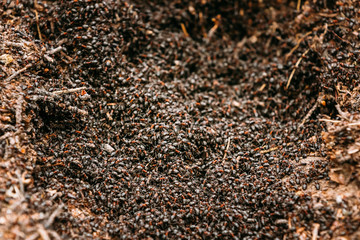 Background Of Red Ant Colony Formica Rufa