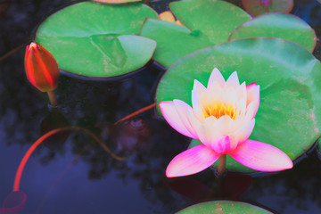 pond with lotus flowers