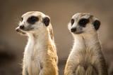 Fototapety The meerkat.