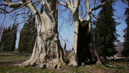 Giant Sycamores with No Leaves in Early Spring Season