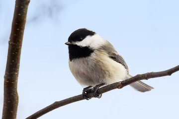 Chickadee with seed on branch