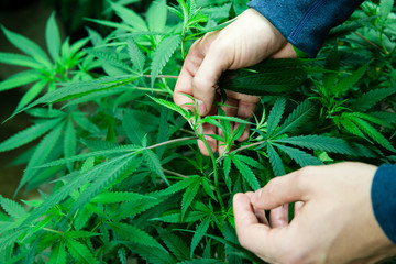 Medical marijuana farmer inspecting his crop