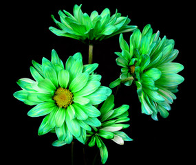 Green Daisy Macro