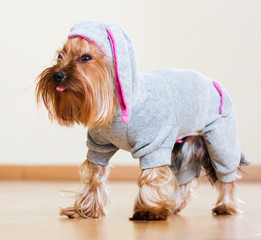 Yorkshire Terrier in overall