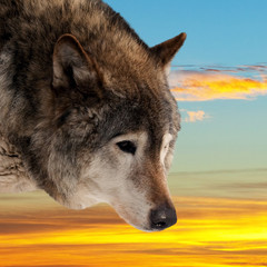 Head of wolf  against sunset