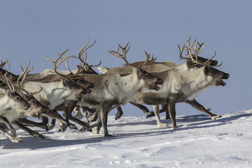 A herd of reindeer that runs on snow-covered tundra sunny winter