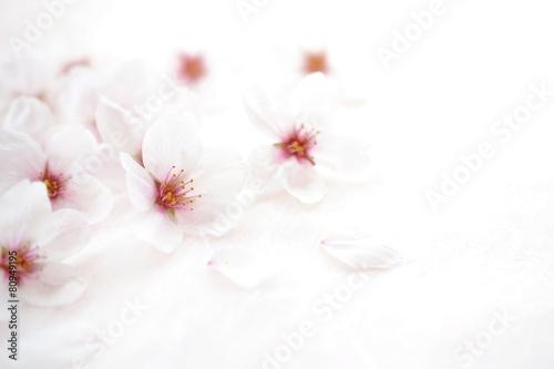 Keuken foto achterwand Kersen 桜の花
