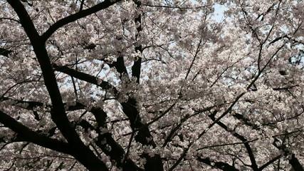 Full bloom Someiyoshino cherry blossoms in Tokyo