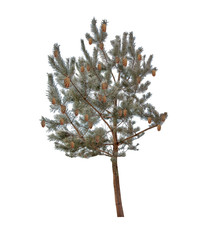winter pine tree with cones  in hoarfrost