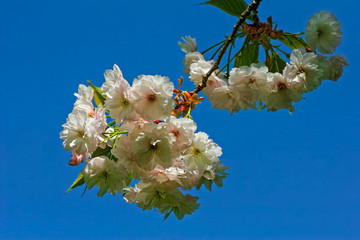 Spring blossoms on blue sky