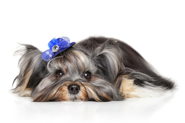 Yorkshire terrier lying down